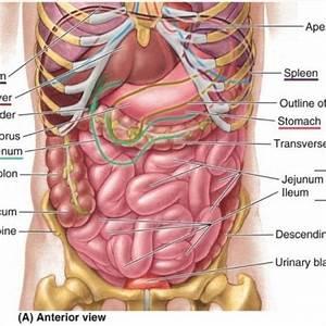 Human Stomach Anatomy Diagram