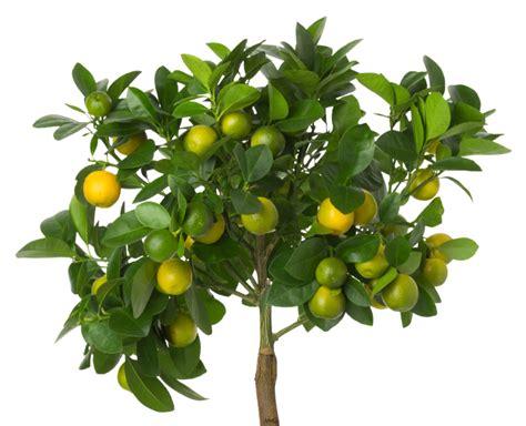zitronenbaum als bonsai erziehung und pflege