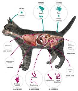 symptoms of worms in cats cat parasite symptoms and treatment