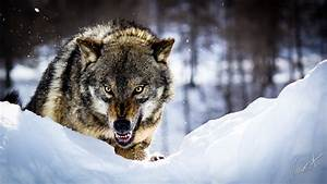 Angry Wolf by GamesOfLight on DeviantArt