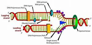 Dna Replication - Biology Photo  2424277