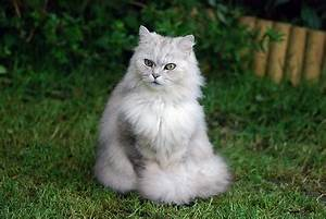 Chinchilla Cat Breed - History, Appearance and Temperament ...