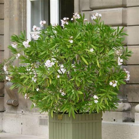 taille des lauriers roses en pot laurier fleurs blanches vente laurier fleurs blanches nerium oleander alba