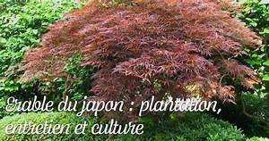 Erable Du Japon Entretien : erable du japon plantation entretien et culture ~ Nature-et-papiers.com Idées de Décoration