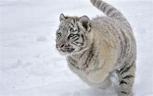 Bebé Tigre Blanco en la Nieve. - Wallpapers - Wallpapers