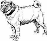 Coloring Pug Printable Popular sketch template