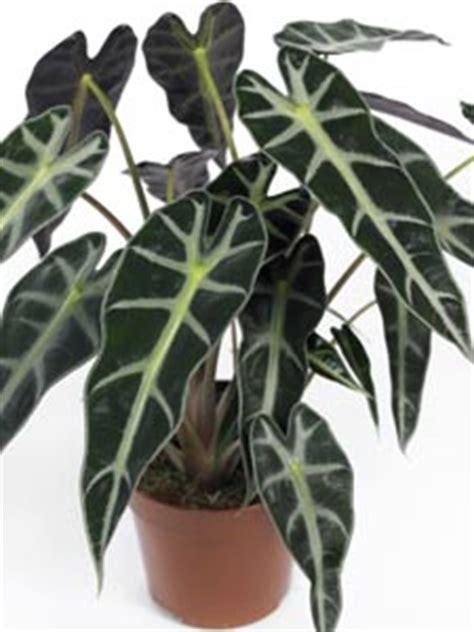 alocasia une plante d appartement originale