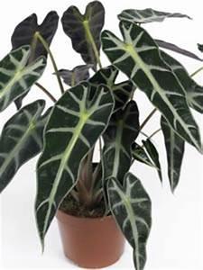 Plante Tropicale D Intérieur : alocasia une plante d 39 appartement originale ~ Melissatoandfro.com Idées de Décoration