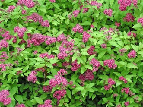 Pink Flowering Bushes And Shrubs Pinkblooming