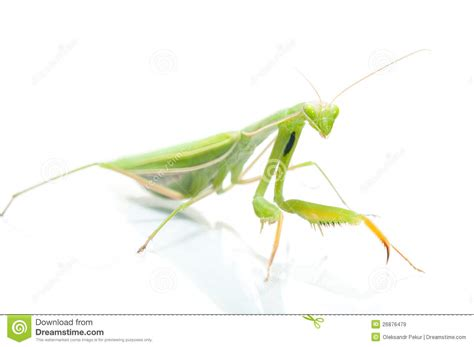 Female Praying Mantis, On White Royalty Free Stock Images ...
