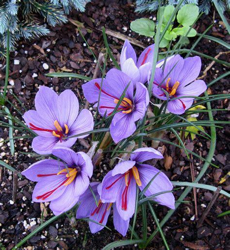 saffron flower saffron happy gourmand