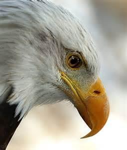 Bald Eagle Freedom