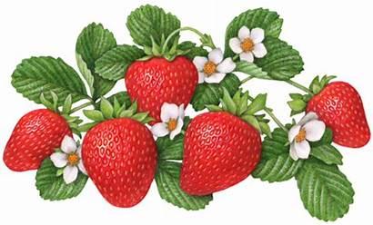 Strawberry Berries Illustrations Illustration Flowers Flower Five
