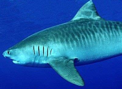 mutated shark concept pics images  pinterest shark sharks  lemon