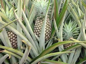 How and where do Pineapples grow? | Yahoo Answers