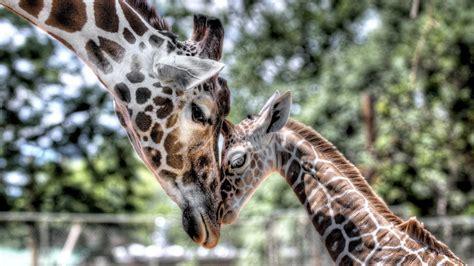 animals giraffe mother cub baby tenderness hd wallpapers