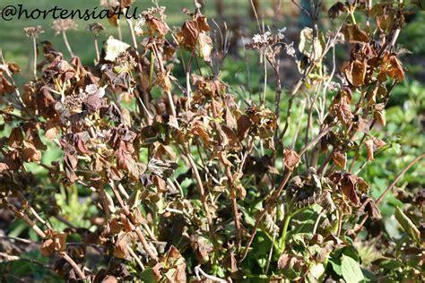 hortensien erfroren was tun frostsch 228 den nicht verzweifeln hortensiahortensia