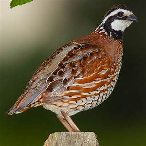 Northern Bobwhite | Birds | Pinterest