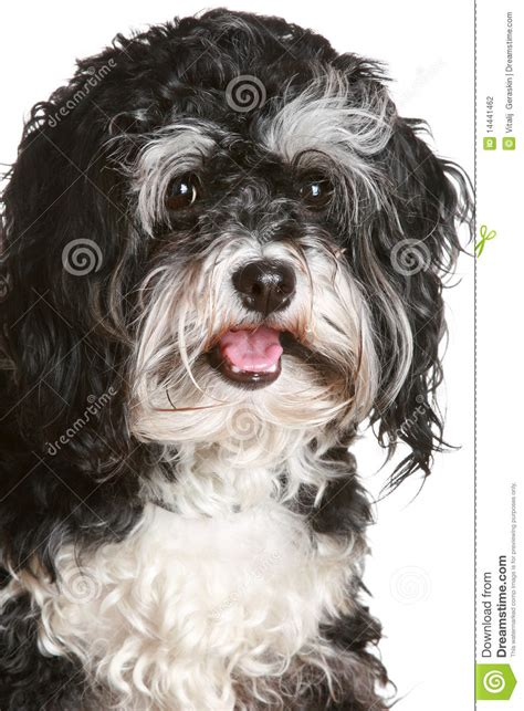 black  white maltese dog stock photography image