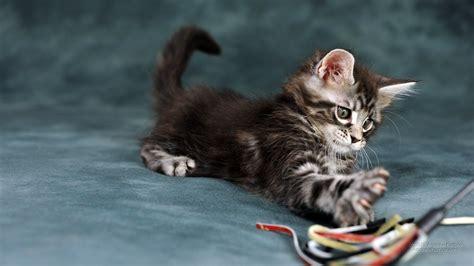 fond d 馗ran bureau 1600x900 chats de papier peint de belles images pour fond d 39 écran
