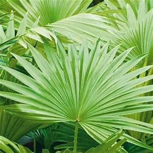 Palmen Kaufen Baumarkt : palme zimmerpflanze zimmerpalme chrysalidocarpus lutescens areca palme 2 wahl restposten ~ Orissabook.com Haus und Dekorationen