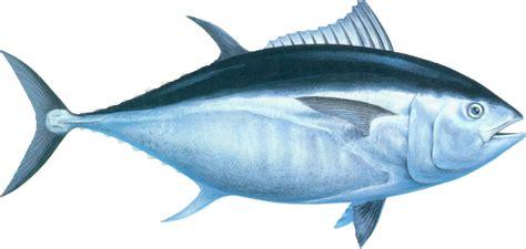 tuna fish tuna fish species lives on indonesian sea indonesia one stop