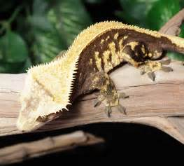 reptiles male crested geckos rtb male solid back pin