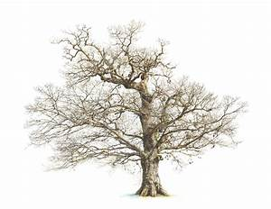 Images For > Oak Tree Fall Drawing | Inspirations ...