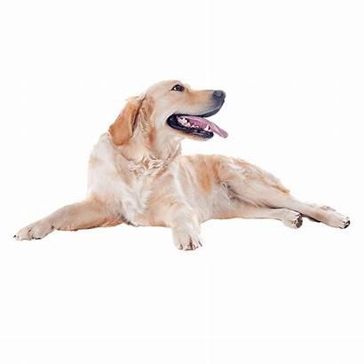Golden Retriever Dog Animal Transparent Bird August