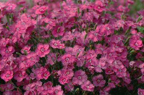 Dianthus gratianopolitanus 'Grandiflorus' - Zilganā neļķe