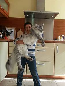 Élevage de Savannah et de Maine Coon Chatterie Moonwalk