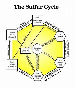 Sulfur Cycle Diagram - By Ken Edwards  Jr