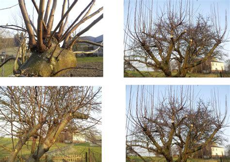 apfelbaum schneiden wassertriebe fragen an den meister apfelbaum wassertriebe verschneiden