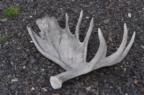 moose antlers shed wiki antler upcscavenger