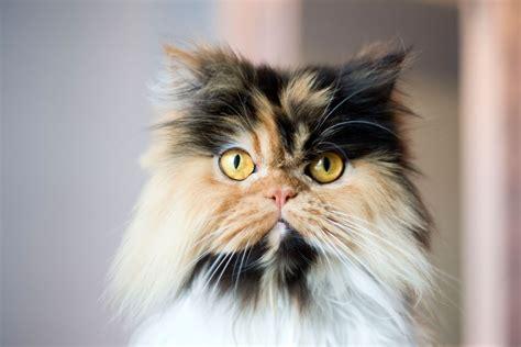 calico cats details  breeds
