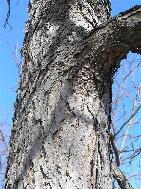 When young, the tree has an irregular shape, but with age it becomes more uniformly rounded. Kentucky Coffeetree - Native Trees of Indiana - Purdue ...