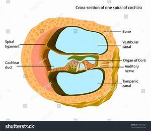 Crosssection One Spiral Cochlea Anatomy Inner Stock Vector 737695282