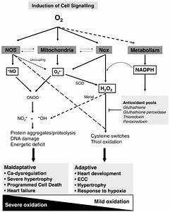 Main Ros Sources And Effects In Cardiac Myocytes  A