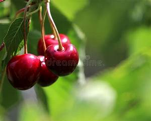 Nice Red Cherry... Cherry Red Summer Quotes