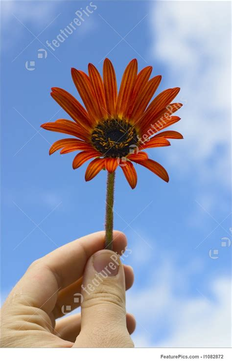 hand holding flower stock picture   featurepics