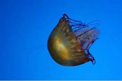 Jellyfish Medusa Medusas Gifs Sea Ocean Qualle