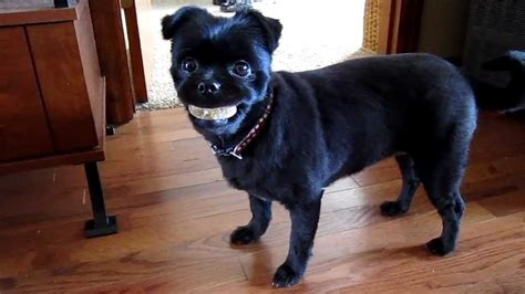 dog  false teeth youtube
