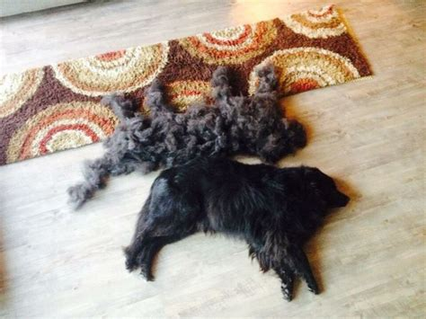 hair shedding solutions 1000 images about animals shedding on cats