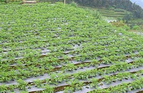 gambar tanaman kentang mitalom