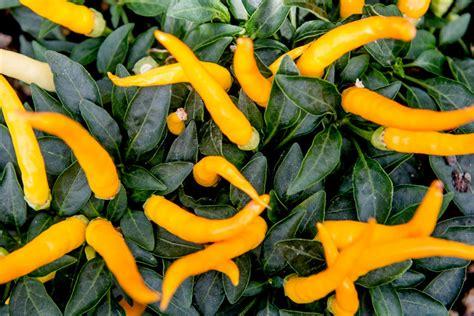 Botanischer Garten Bochum Chili by Westbalkan Caracalla Chinesischer Garten Chilis
