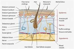 Mblex Review  Integumentary System Anatomy And Physiology