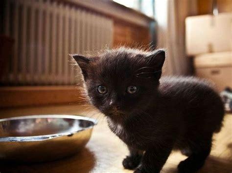 zehn schwarze katzenbabys zum verlieben mit bildern