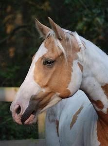 palomino paint horse | Horses - Painted | Pinterest