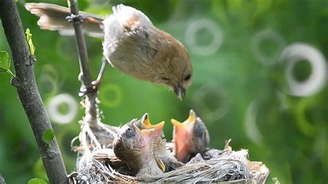 beautiful eastern phoebe little birds feeding their babies