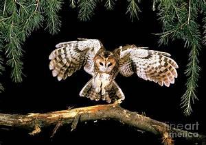 Tawny Owl Photograph by Stephen Dalton
